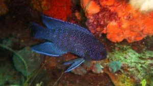 Blue devil, local marine life, the dive shack, snorkel safari, adelaide, scuba, diving, snorkelling, spearfishing, freediving