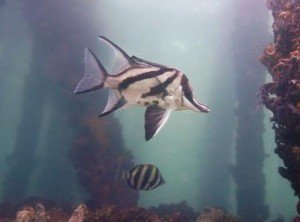 Long snouted boarfish, the dive shack, snorkel safari, adelaide, scuba, diving, snorkelling, spearfishing, freediving