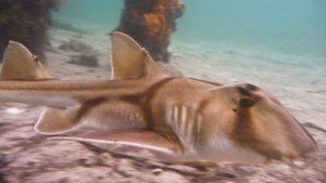 Port jackson shark, the dive shack, local marine life, snorkel safari, adelaide, scuba, diving, spearfishing, snorkelling, freediving