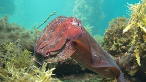The Dive Shack Cuttlefish
