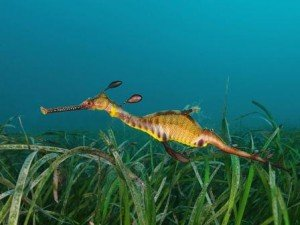 Weedy Seadragon, local marine life, the dive shack, snorkel safari, adelaide, scuba, diving, snorkelling, spearfishing, freediving