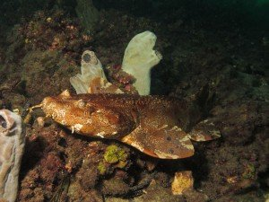Wobbegong Shark, Marine life, The Dive Shack, Snorkel, Safari, Adelaide, scuba, diving, snorkelling, spearfishing, freediving