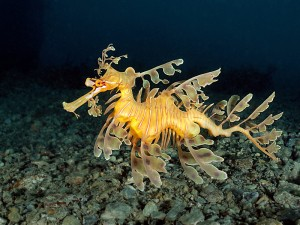 Leafy Seadragon, environment, the dive shack, snorkel safari, adelaide, scuba, diving, snorkelling, spearfishing, freediving
