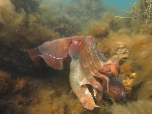 Cuttlefish Amy D
